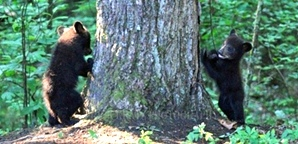 Feed Ducks, Not  Bears | Smoky Mountains Wildlife